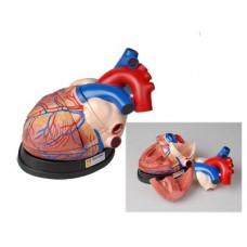 Модель сердца в разрезе (демонстрационная)