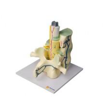 Модель части позвоночника человека