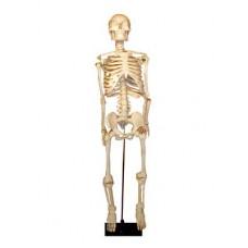 Скелет человека на штативе (85 см.)