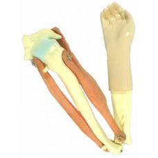 Модель локтевого сустава подвижная