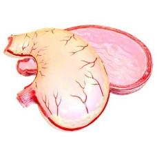 Модель желудка в разрезе